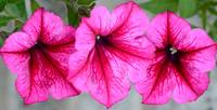 Three Pink Petunias