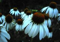 White Coneflowers on Black