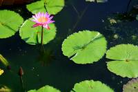 Alone in the Lily Pond