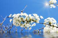 Cherry blossoms over blue sky background