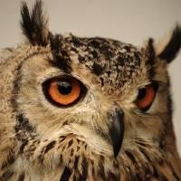 Eurasian Eagle Owl Portrait Art Prints & Posters by Adrian Wale