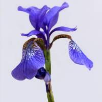 Purple Iris on White 2016 by Karen Adams