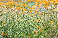 Nature's Artwork - California Wildflowers