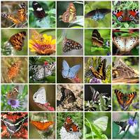 Beautiful Butterflies Collage by Carol Groenen