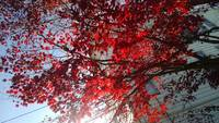 Autumn's Red