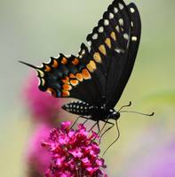 Black Swallowtail Butterfly in Garden Square