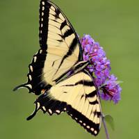 Eastern Tiger Swallowtail Green Square 2016