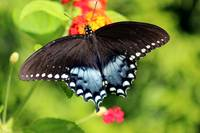 Spicebush Swallowtail Butterfly on Lantana