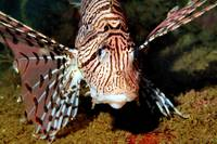 Lionfish Frontal