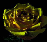 Yellow Rose - Artistic