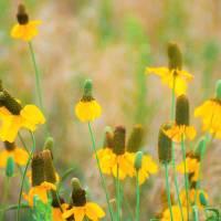 """Prairie Wildflowers"" by Hornswaggled"