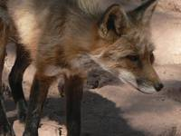 Captive Red Fox P1160682