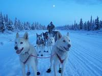 sled dogs on the Iditarod Trail in Alaska