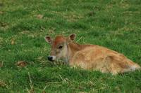 Calf on a Farm