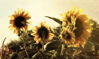 Sunflowers In Tone