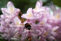 Bumblebee and Rhododendron