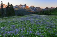 Paradise wildflowers & Tatoosh Range at sunset