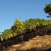 Vineyard1 by Richard Thomas