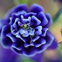 Purple Columbine Flower 2016 by Karen Adams