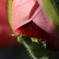 The Poppy's Secret #3 by Karen Adams