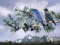 Mountain Bluebirds and Juniper