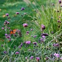 Four Monarch Butterflies 2011 by Karen Adams