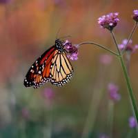 Monarch Butterfly in Autumn by Karen Adams