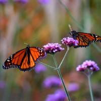 Two Monarchs Sharing by Karen Adams