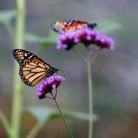 Two Monarchs on Verbena 2011 by Karen Adams