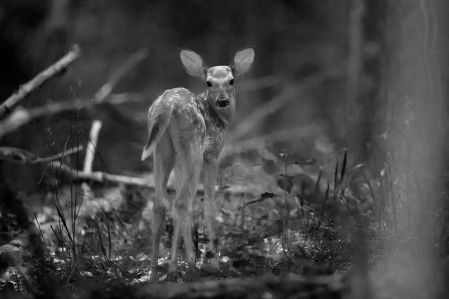 Deer Fawn-Black & White Series #1