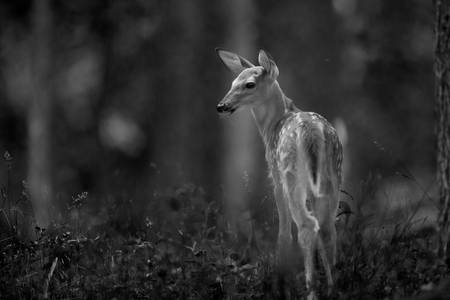 Deer Fawn-Black & White Series #2