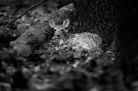 Deer Fawn-Black & White Series #4 by Daniel Teetor