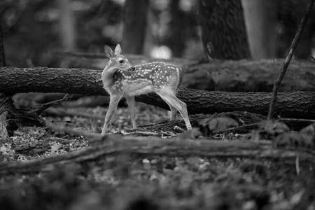 Deer Fawn-Black & White Series #5
