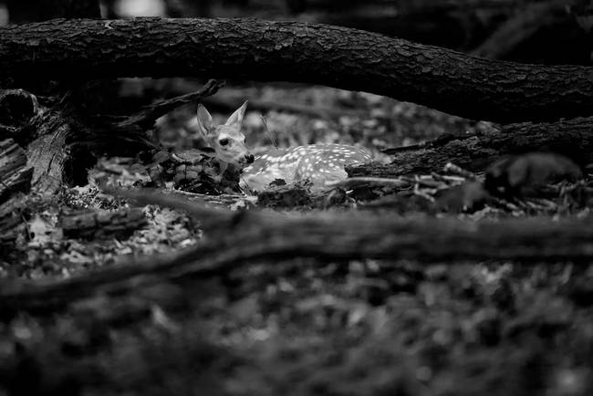 Deer Fawn-Black & White Series #6