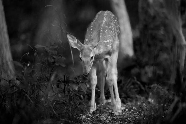 Deer Fawn-Black & White Series #9