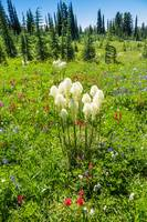 Beargrass and other wildflowers