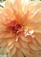 Orange Sherbert Dahlia by Carol Groenen