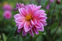 Soft Garden Dahlia by Carol Groenen