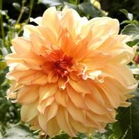 Bright and Beautiful Dahlia by Carol Groenen