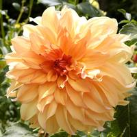 Bright and Beautiful Dahlia