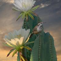 """Cactus Wren"" by spadecaller"