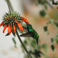 Hummingbird and a Wildflower Art Prints & Posters by Robert Hamm