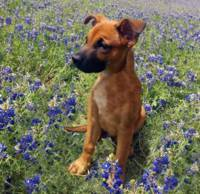 Expressive Puppy and Bluebonnets Photo A19316