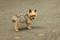 Max the Silky Terrier