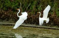 Dance of the Egrets - 2
