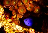 Button Polyps and Damsel