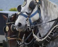 PERCHERON HORSES