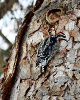 Downy Wood Pecker_8667