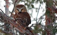 Northern Saw-Whet Owl 01