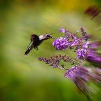 Hummingbird at Butterfly Bush by Karen Adams